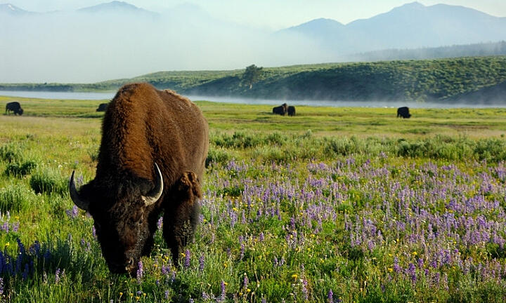 24577_d79f12_yellowstone_national_park_wyoming_wildlife_bison_buffalo_wildflowers_lg