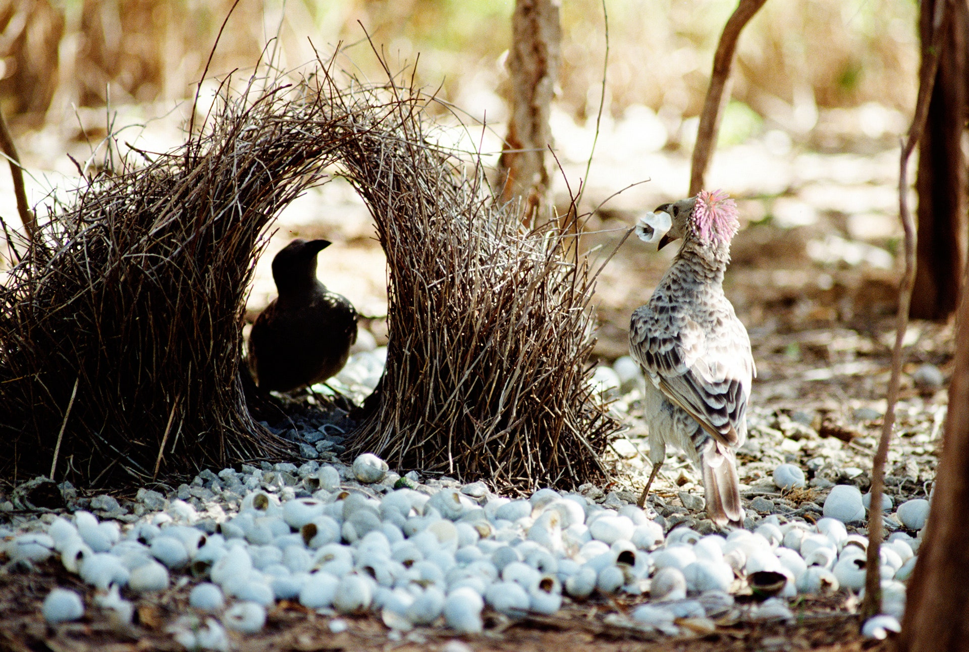 Perspective Masters: The Bowerbird